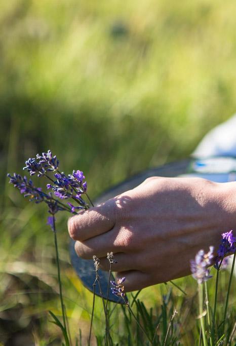Lavendel Pflücken
